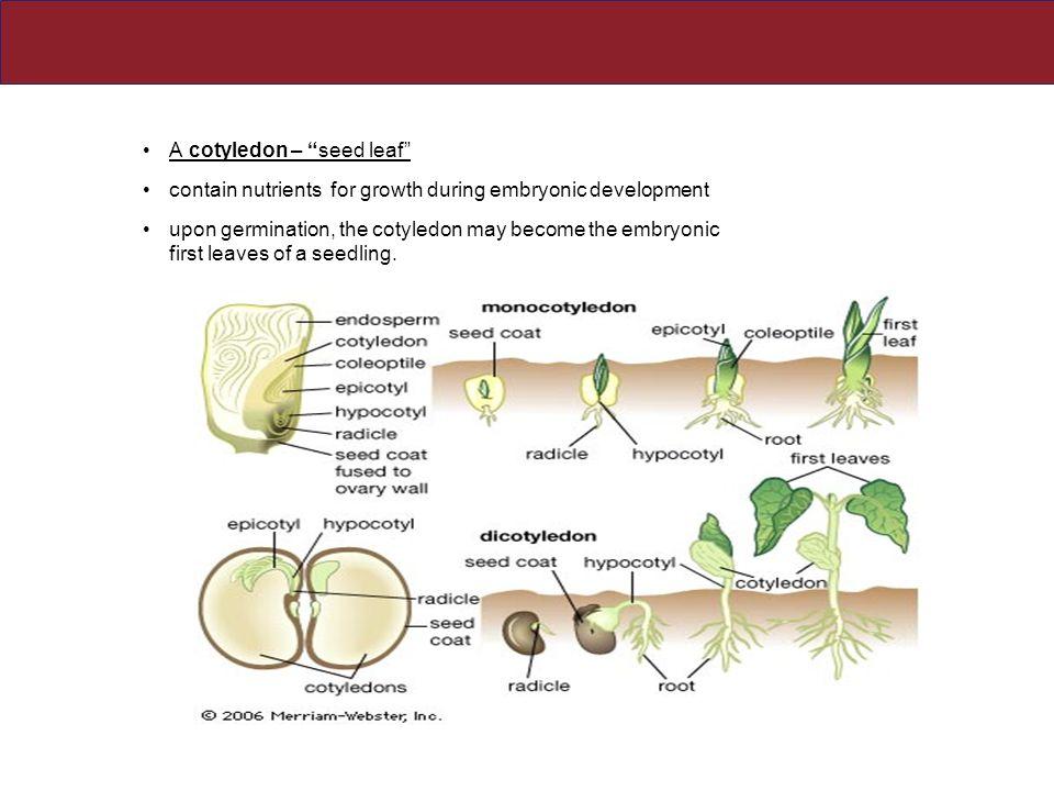 A cotyledon – seed leaf