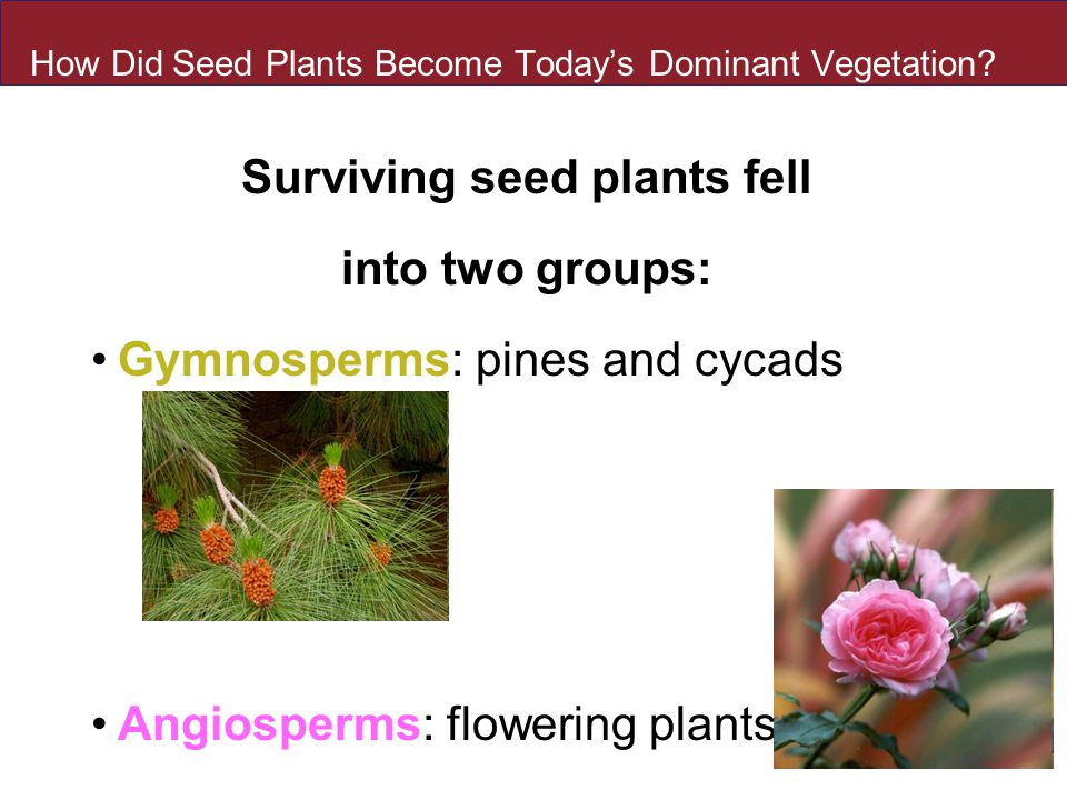 How Did Seed Plants Become Today's Dominant Vegetation