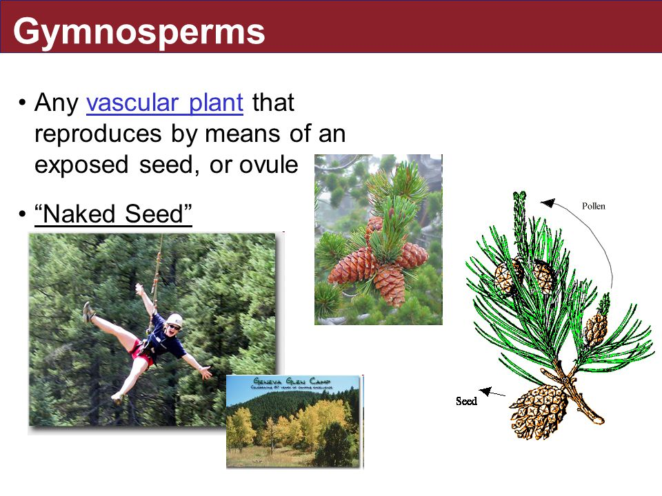 Gymnosperms Any vascular plant that reproduces by means of an exposed seed, or ovule Naked Seed