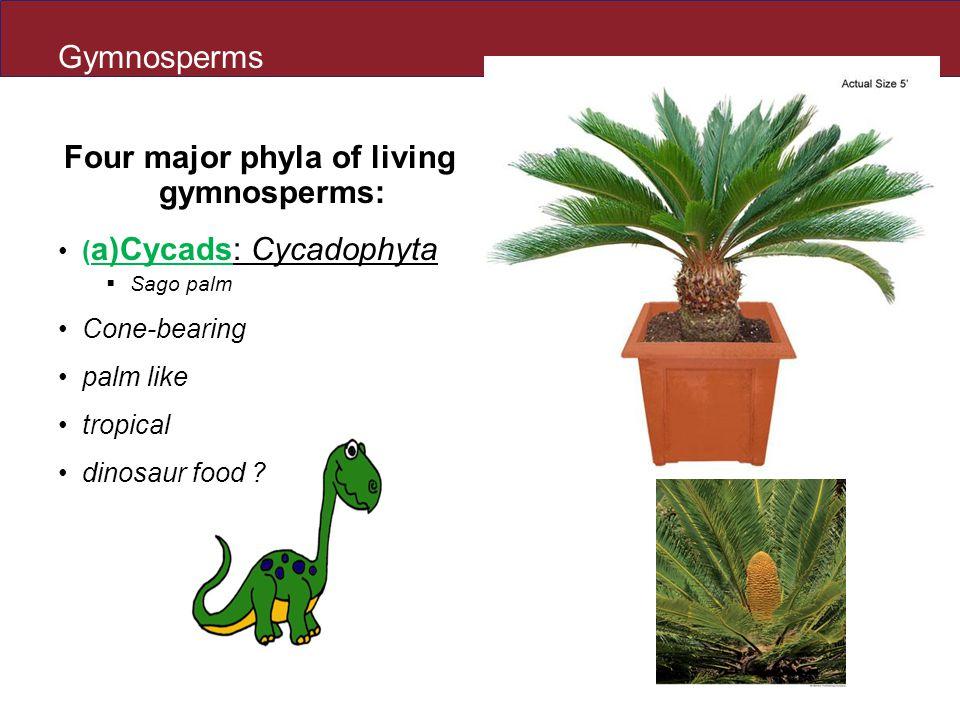 Four major phyla of living gymnosperms: