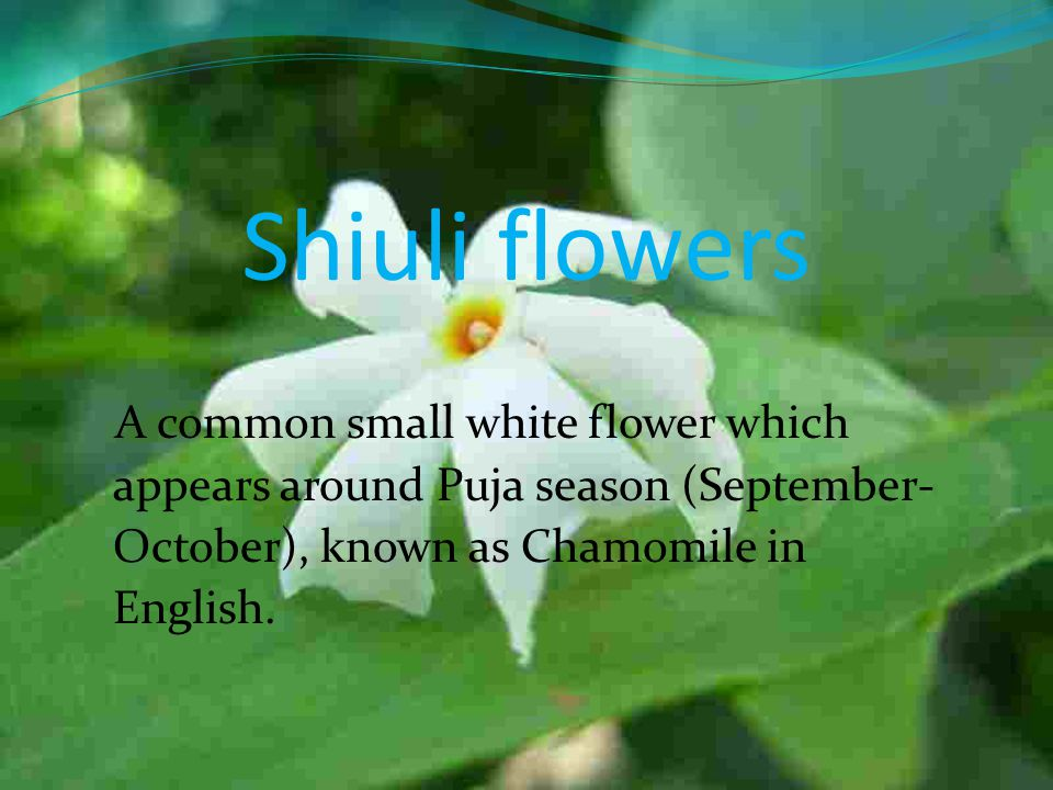 Shiuli flowers A common small white flower which appears around Puja season (September-October), known as Chamomile in English.