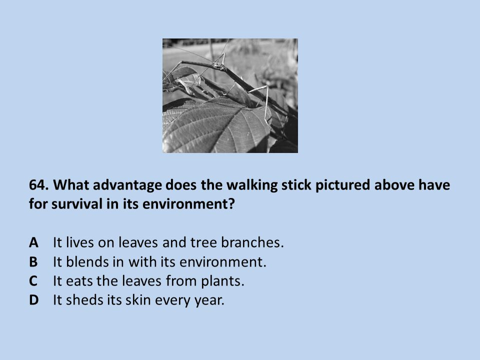 64. What advantage does the walking stick pictured above have for survival in its environment.