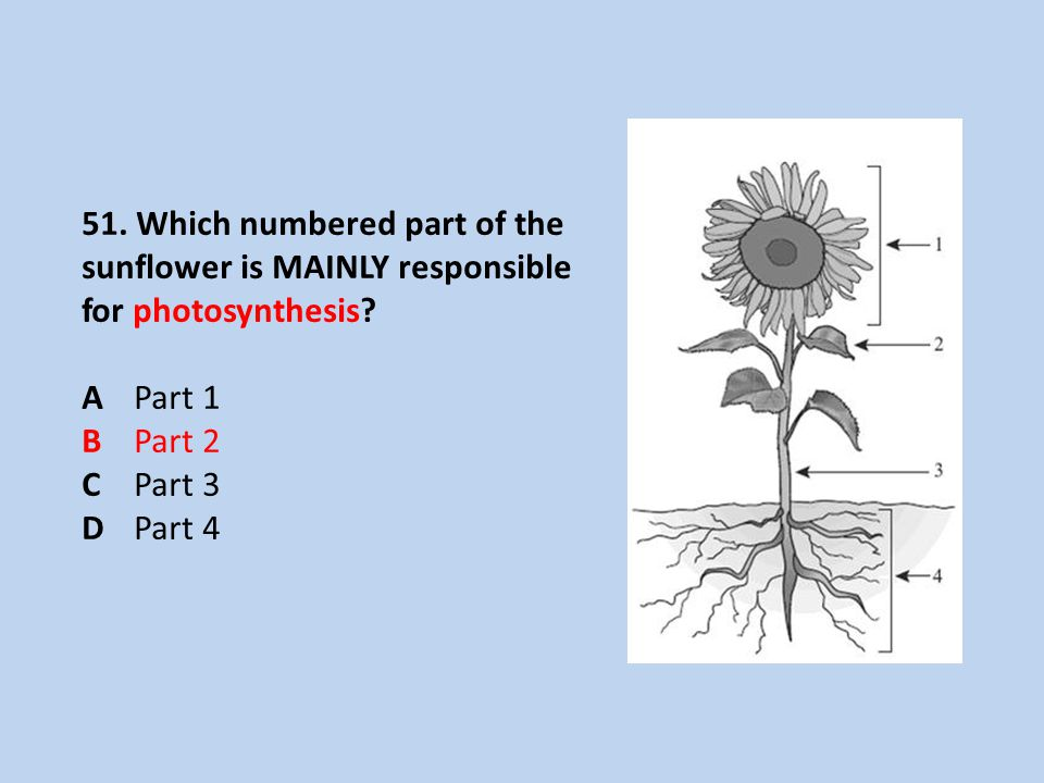 51. Which numbered part of the sunflower is MAINLY responsible for photosynthesis.