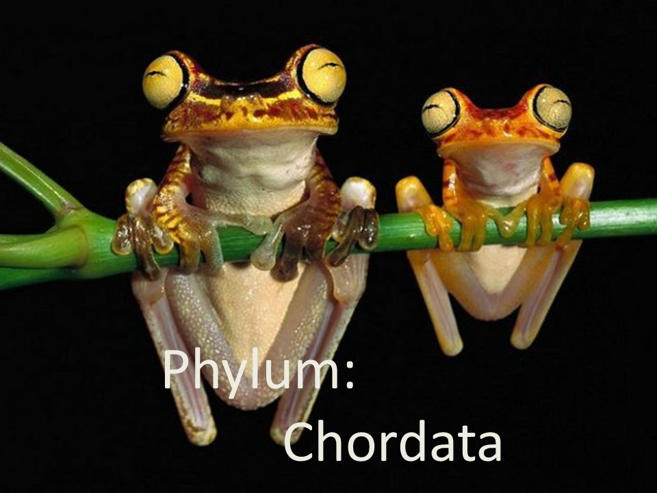 Phylum Chordata Phylum: Chordata