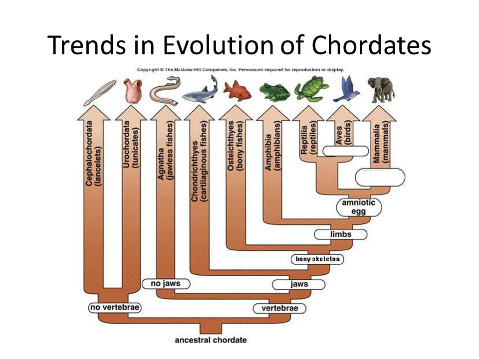 Trends in Evolution of Chordates