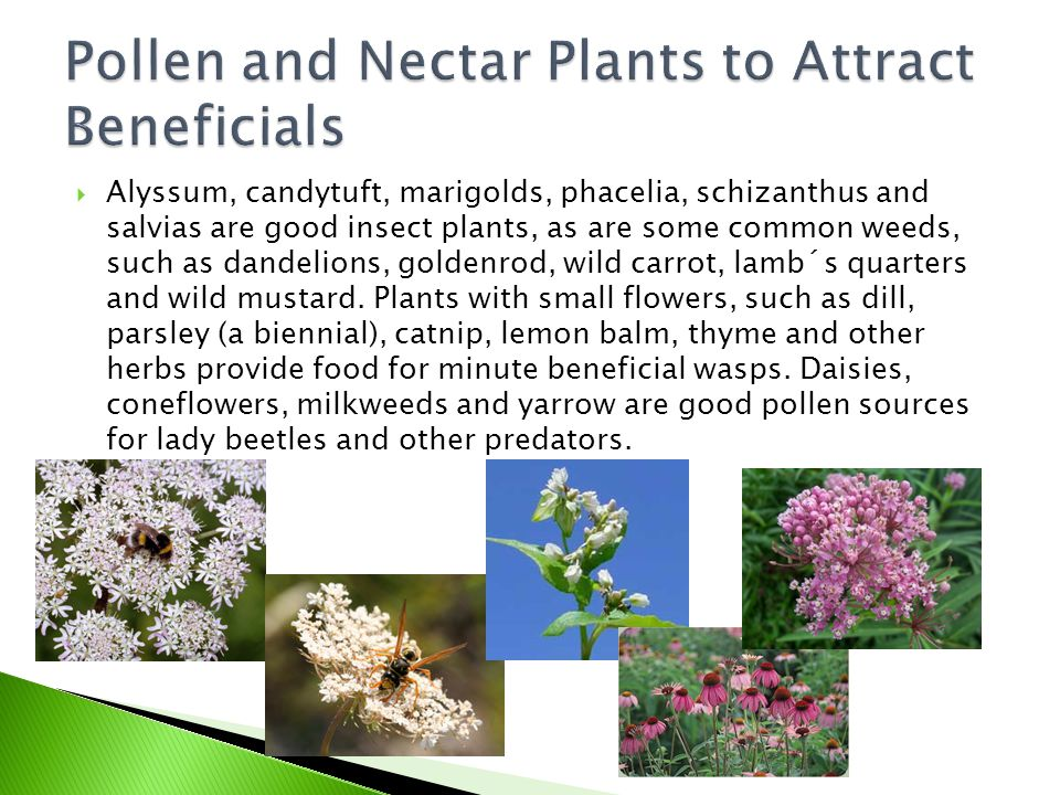Pollen and Nectar Plants to Attract Beneficials