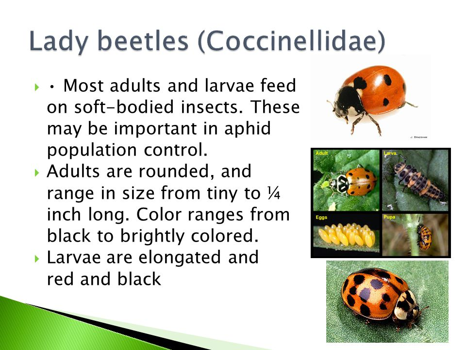 Lady beetles (Coccinellidae)
