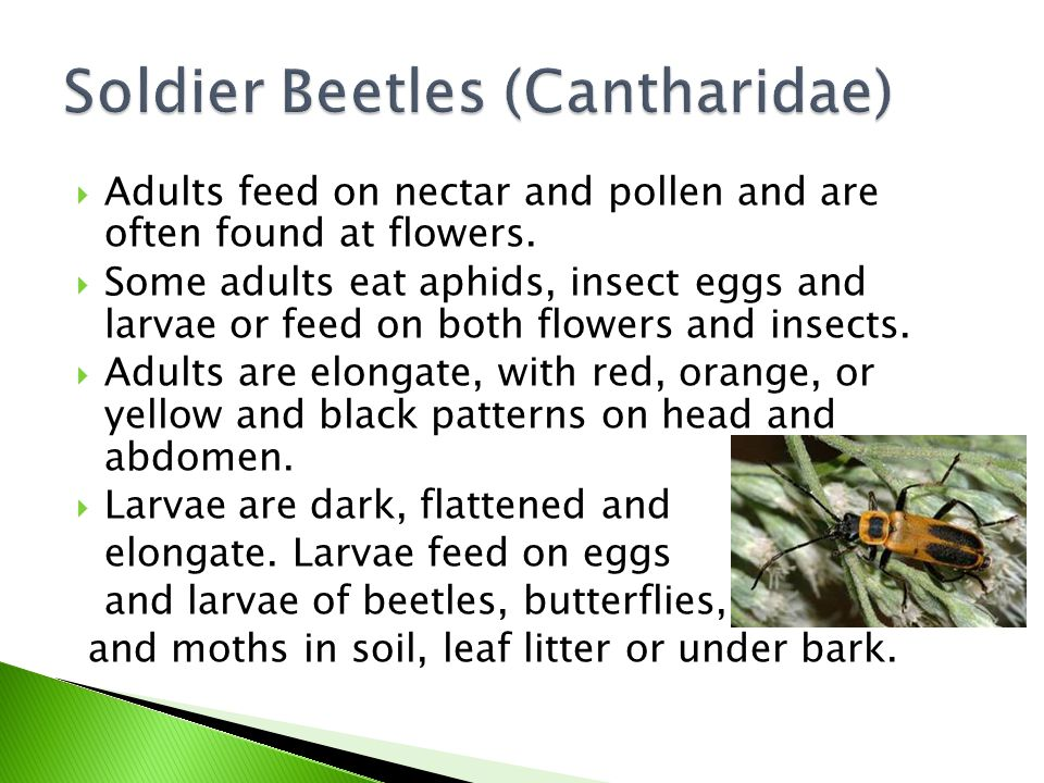 Soldier Beetles (Cantharidae)