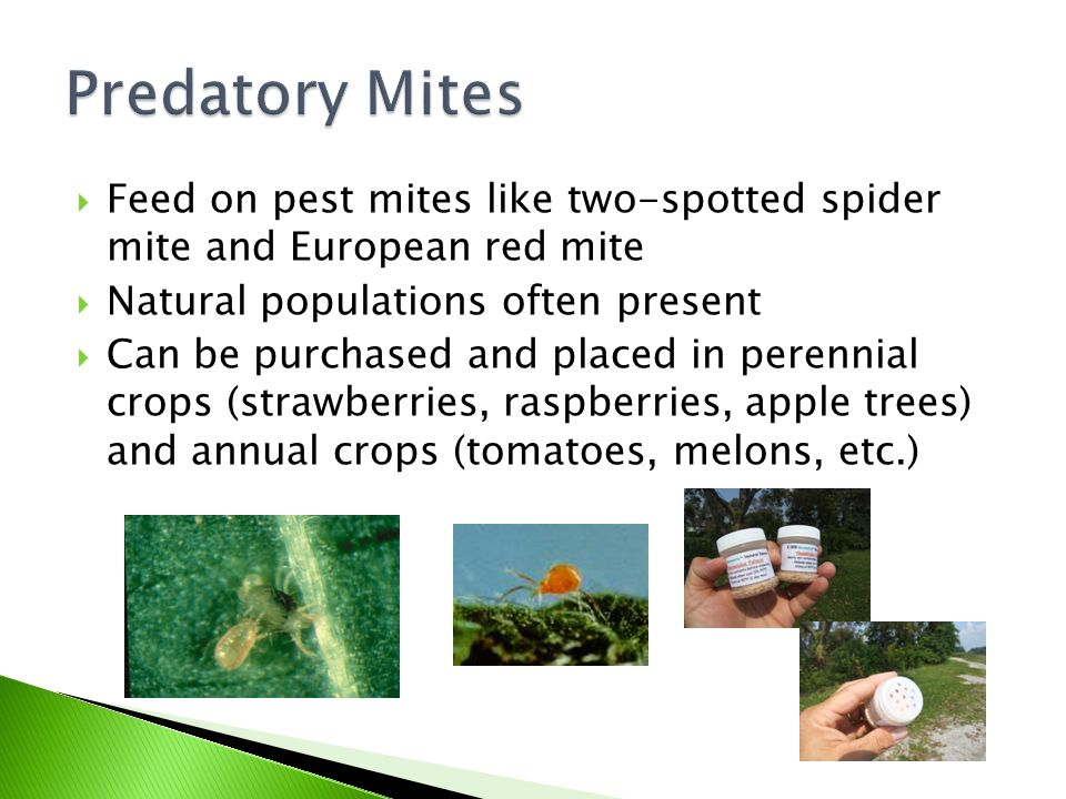 Predatory Mites Feed on pest mites like two-spotted spider mite and European red mite. Natural populations often present.