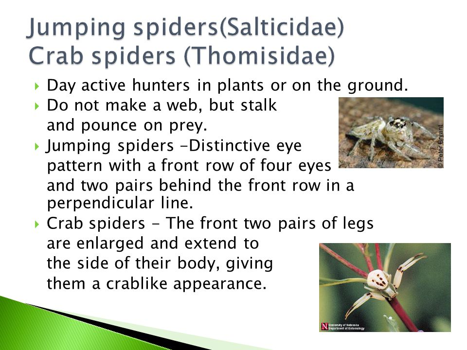 Jumping spiders(Salticidae) Crab spiders (Thomisidae)