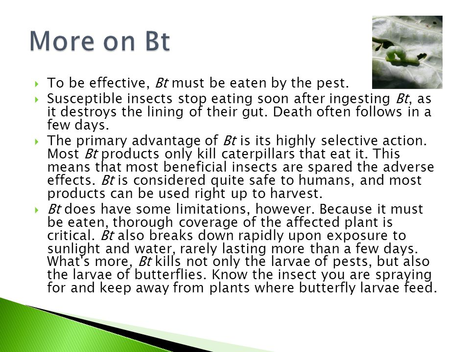 More on Bt To be effective, Bt must be eaten by the pest.