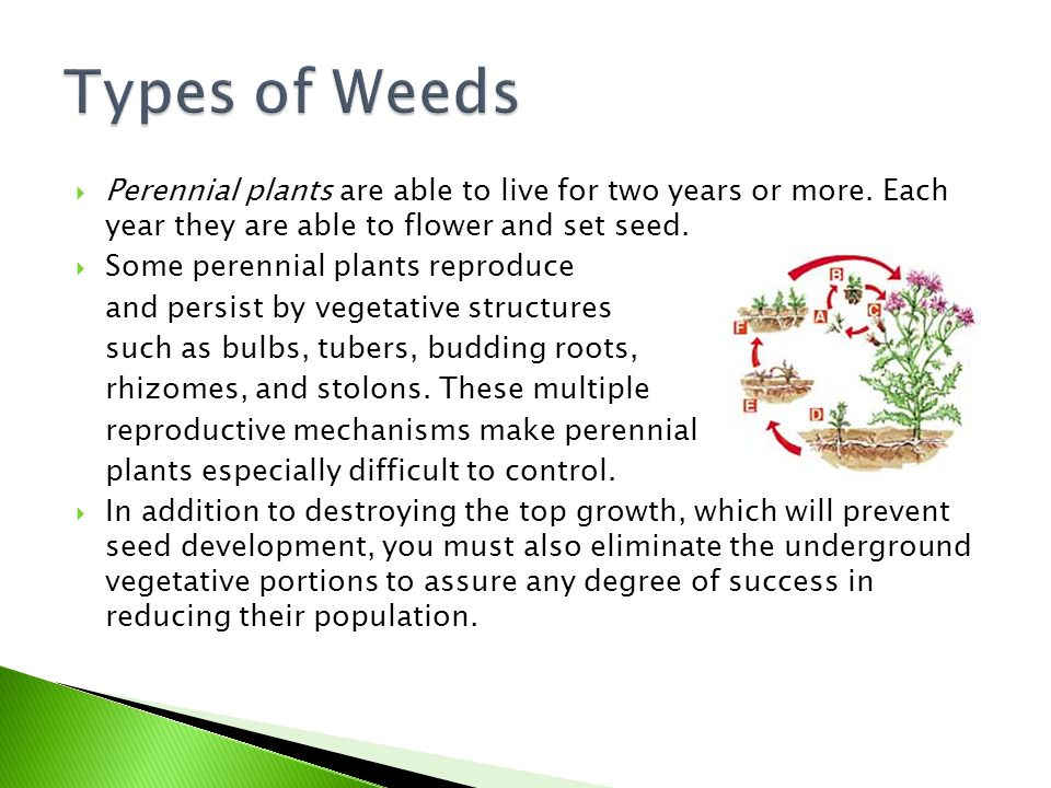 Types of Weeds Perennial plants are able to live for two years or more. Each year they are able to flower and set seed.