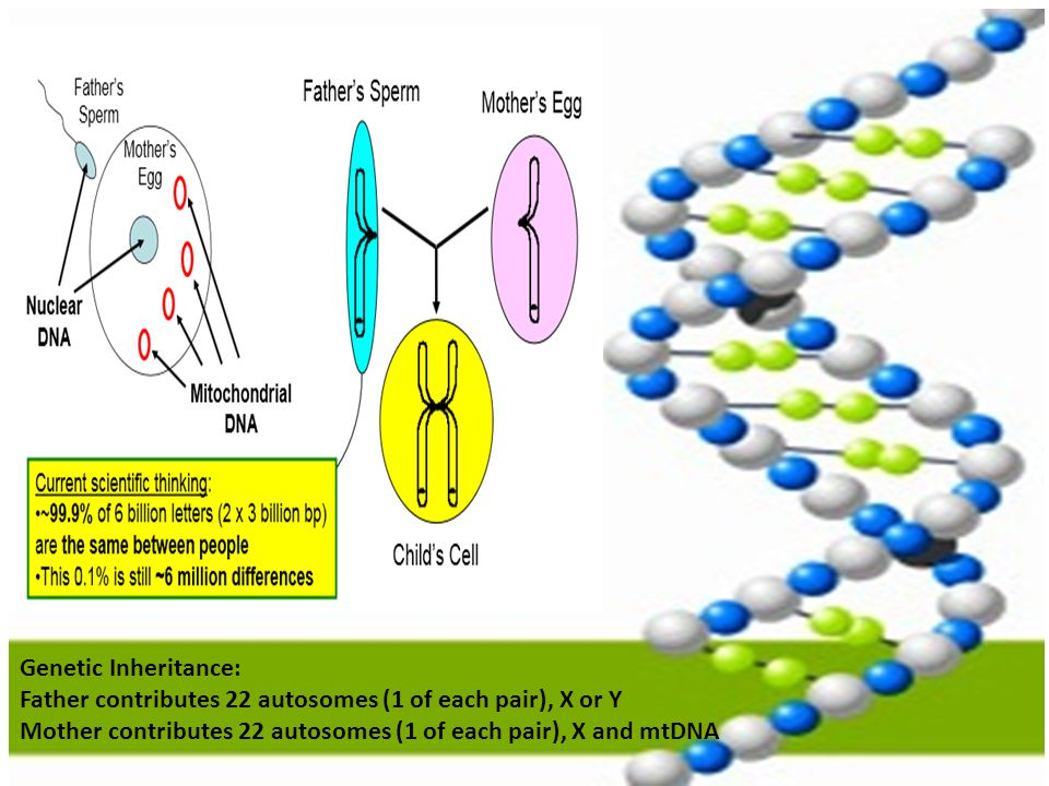 Genetic Inheritance: Father contributes 22 autosomes (1 of each pair), X or Y.