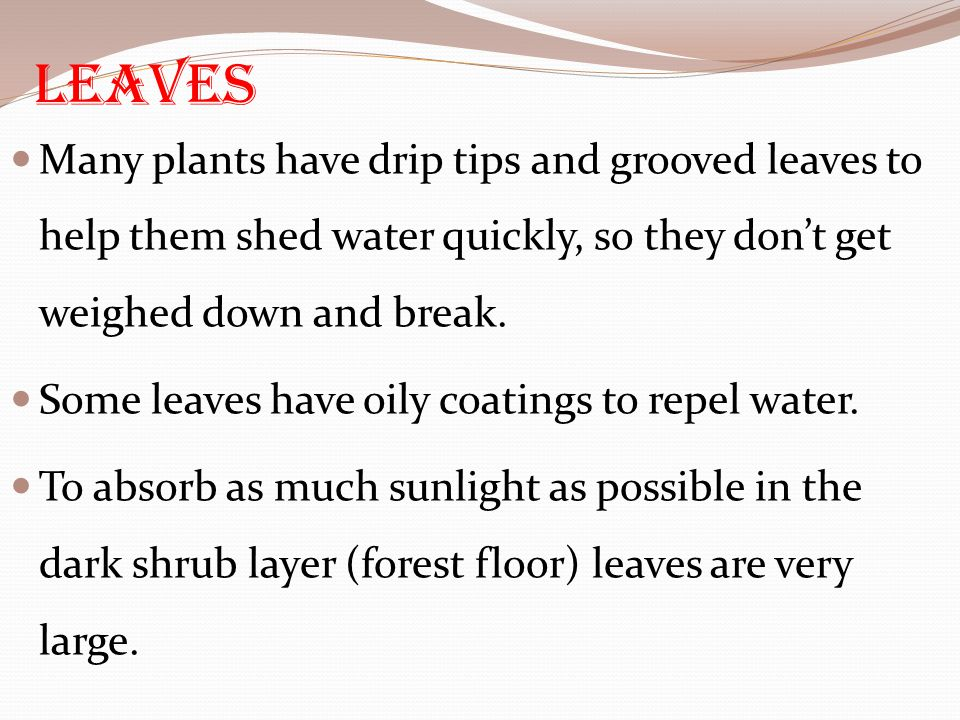 Leaves Many plants have drip tips and grooved leaves to help them shed water quickly, so they don't get weighed down and break.