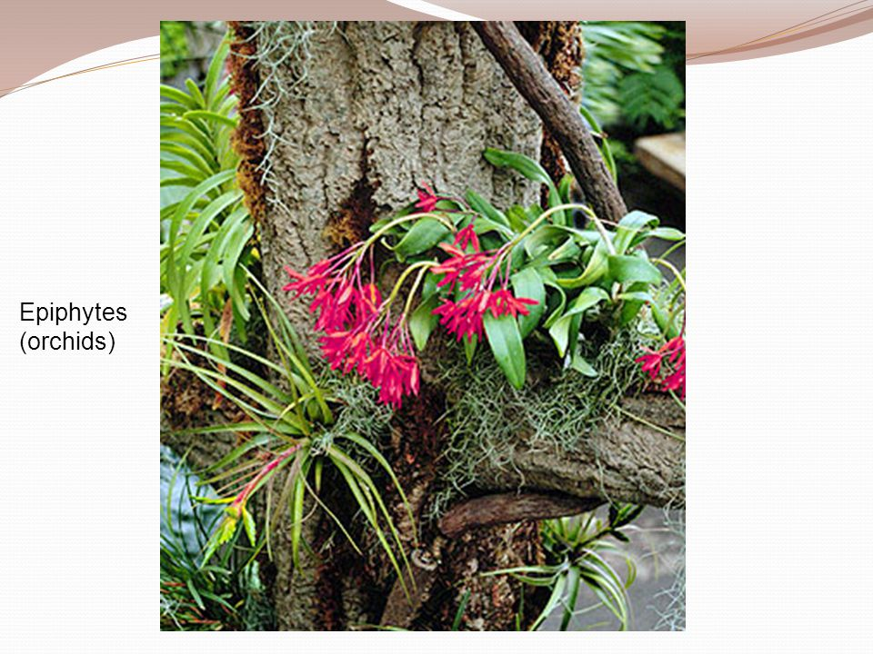 Epiphytes (orchids)