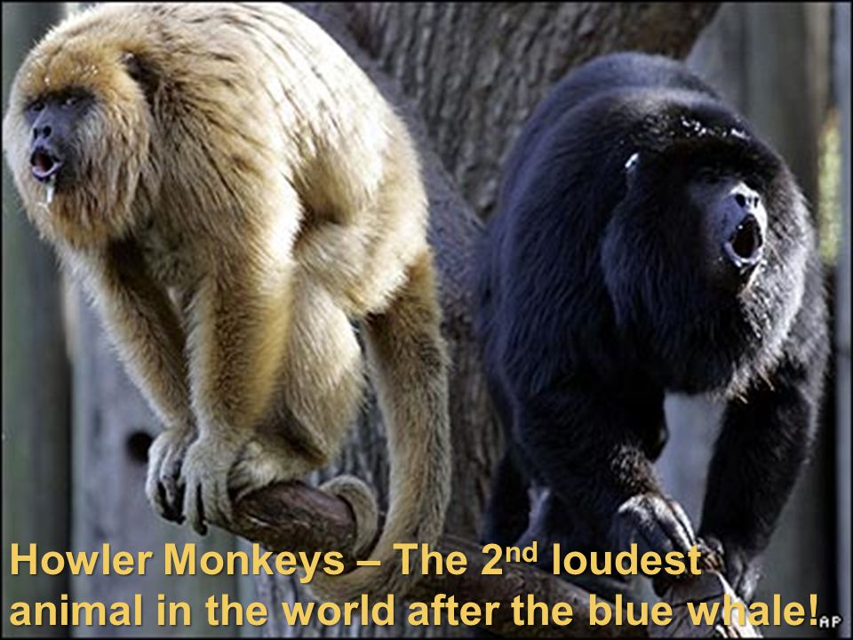 Howler Monkeys – The 2nd loudest animal in the world after the blue whale!