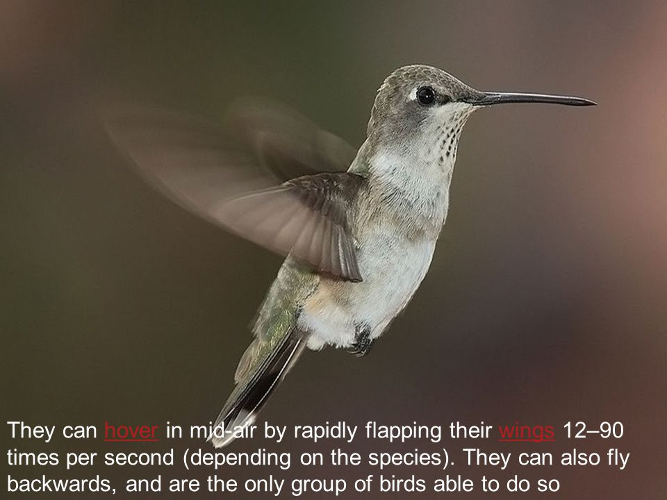 They can hover in mid-air by rapidly flapping their wings 12–90 times per second (depending on the species).