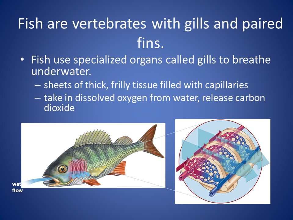 Fish are vertebrates with gills and paired fins.