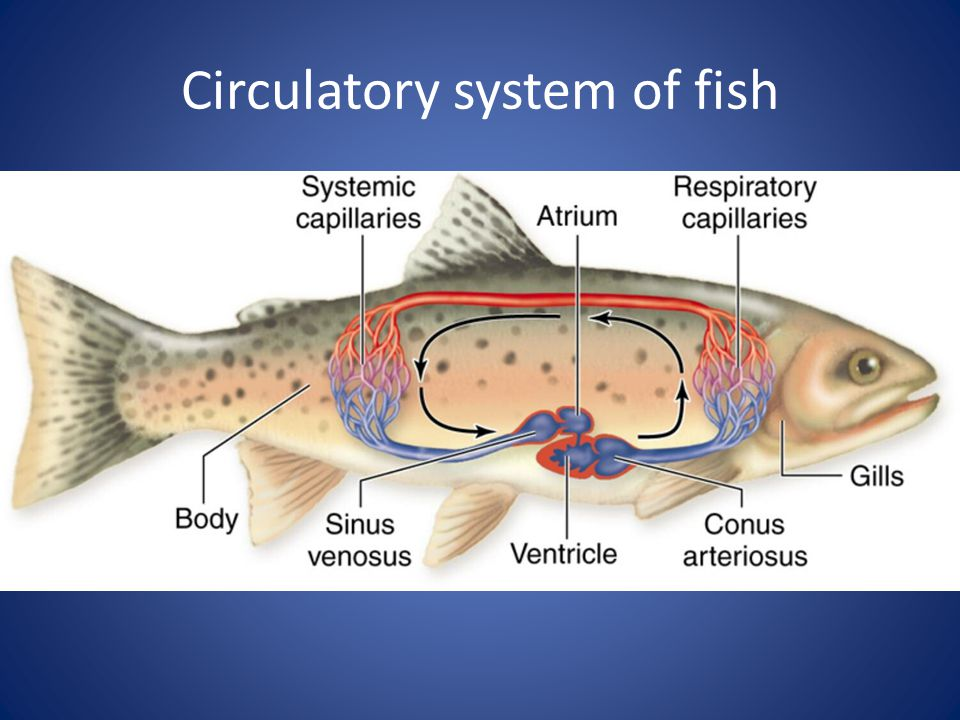 Circulatory system of fish