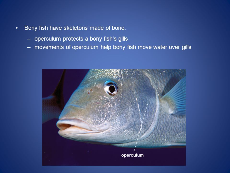 Bony fish have skeletons made of bone.
