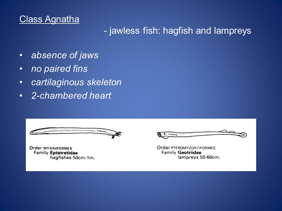 Class Agnatha - jawless fish: hagfish and lampreys. absence of jaws. no paired fins. cartilaginous skeleton.