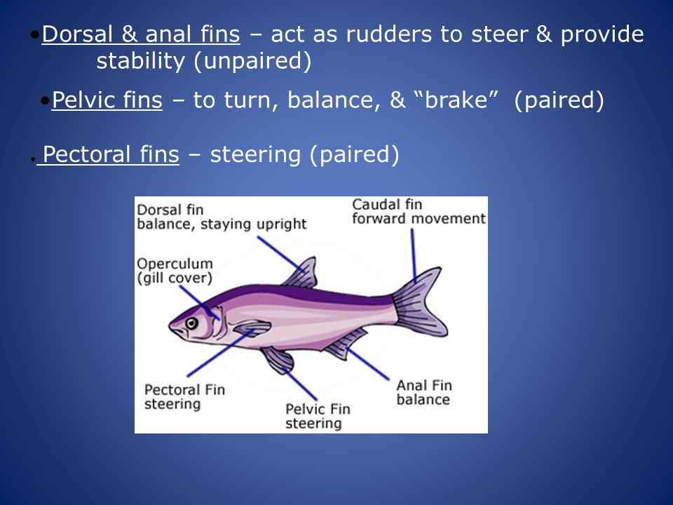 Dorsal & anal fins – act as rudders to steer & provide