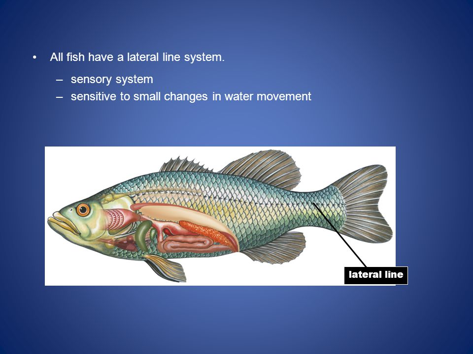 All fish have a lateral line system.