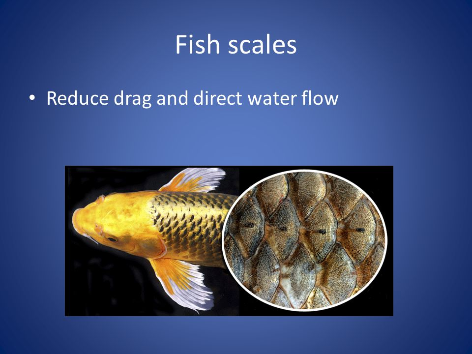 Fish scales Reduce drag and direct water flow