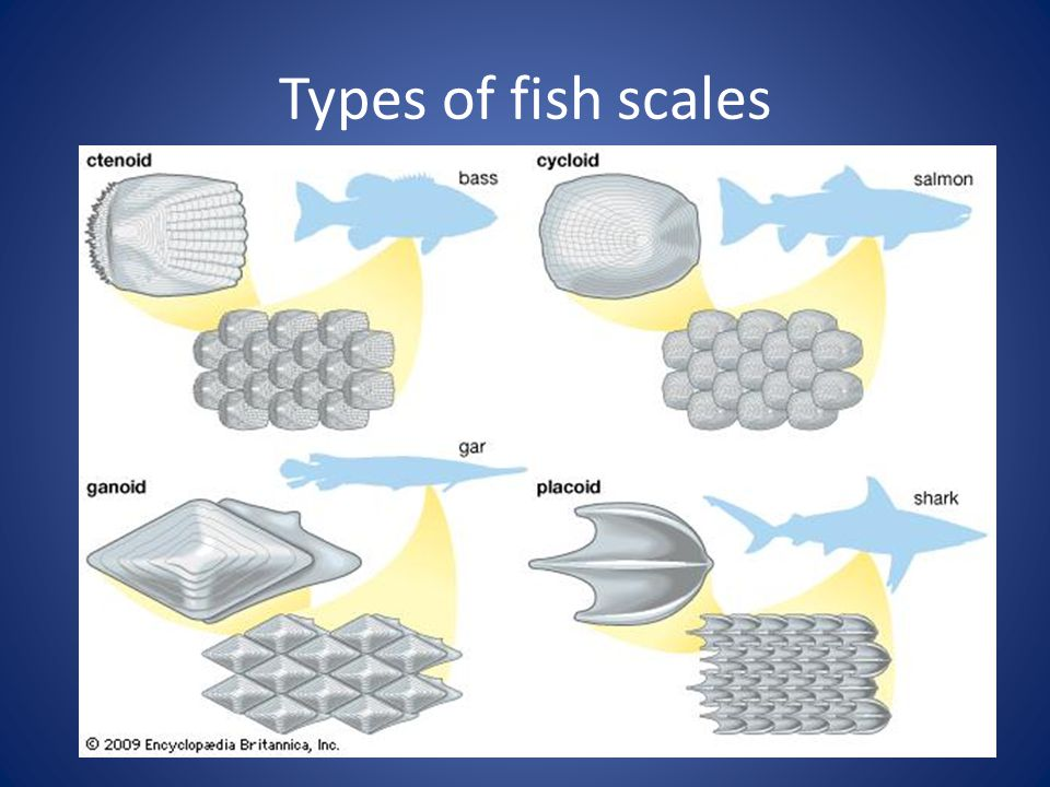 Introduction to fish ppt video online download for List of fish with fins and scales