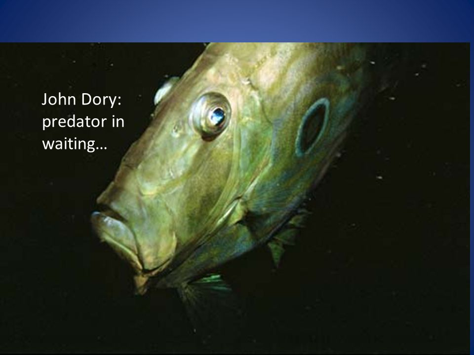 John Dory: predator in waiting…