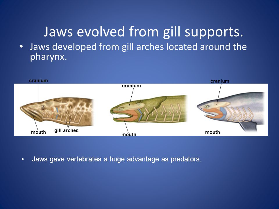 Jaws evolved from gill supports.
