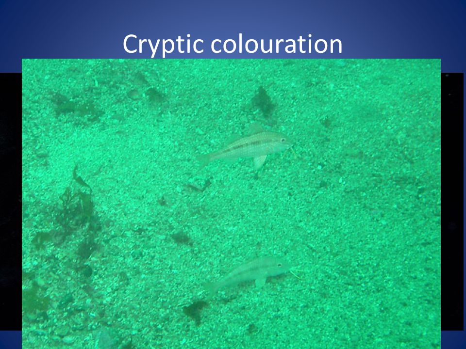 Cryptic colouration