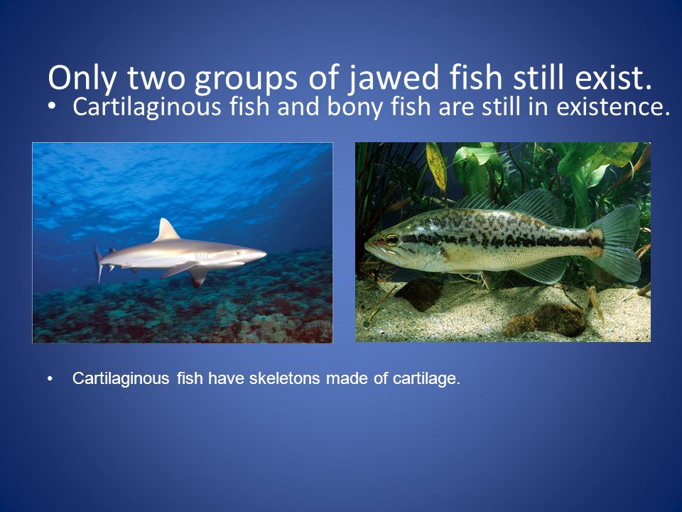 Only two groups of jawed fish still exist.