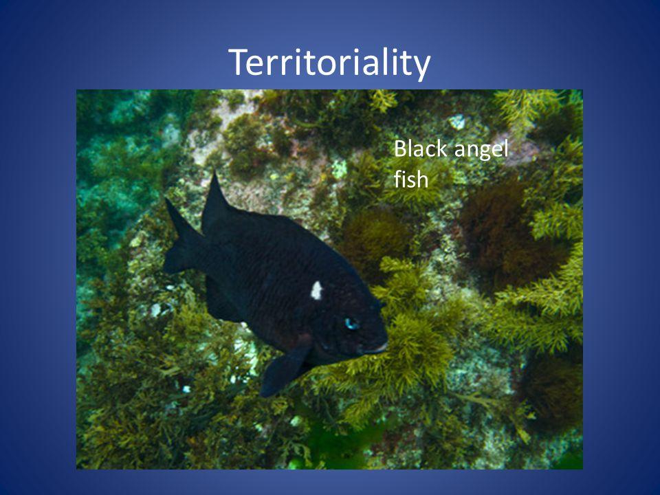Territoriality Black angel fish