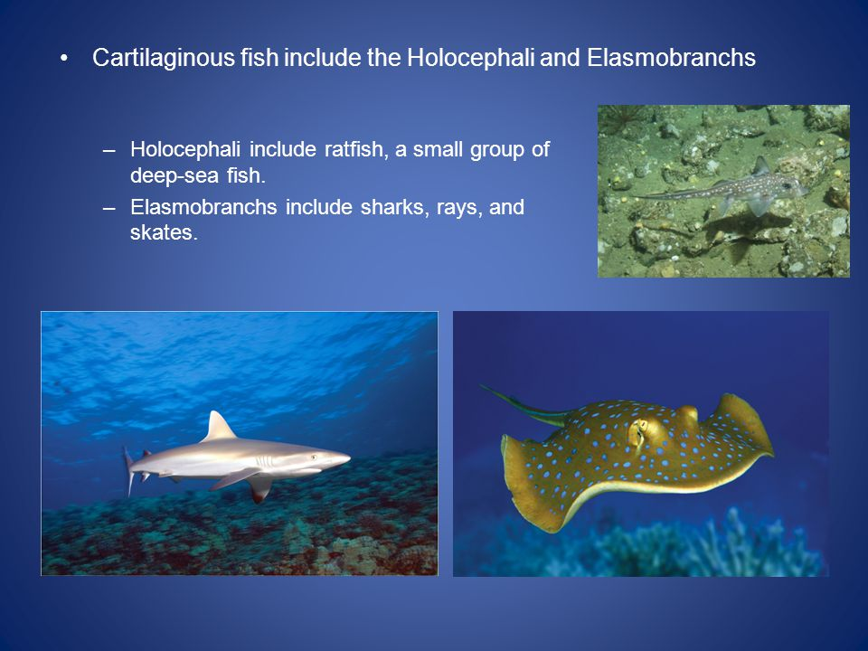 Cartilaginous fish include the Holocephali and Elasmobranchs