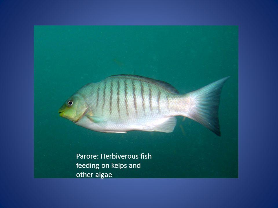 Parore: Herbiverous fish feeding on kelps and other algae