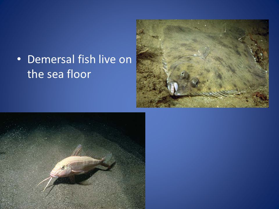 Demersal fish live on the sea floor