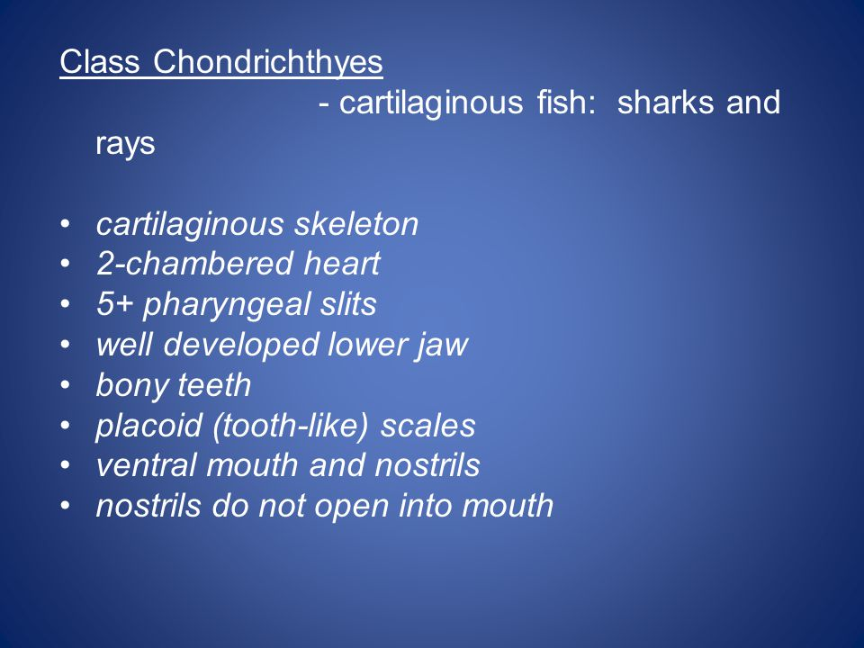 Class Chondrichthyes - cartilaginous fish: sharks and rays. cartilaginous skeleton. 2-chambered heart.