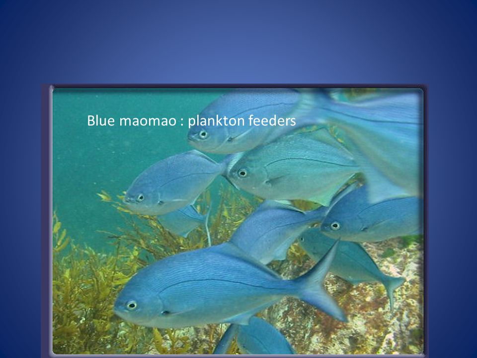 Blue maomao : plankton feeders