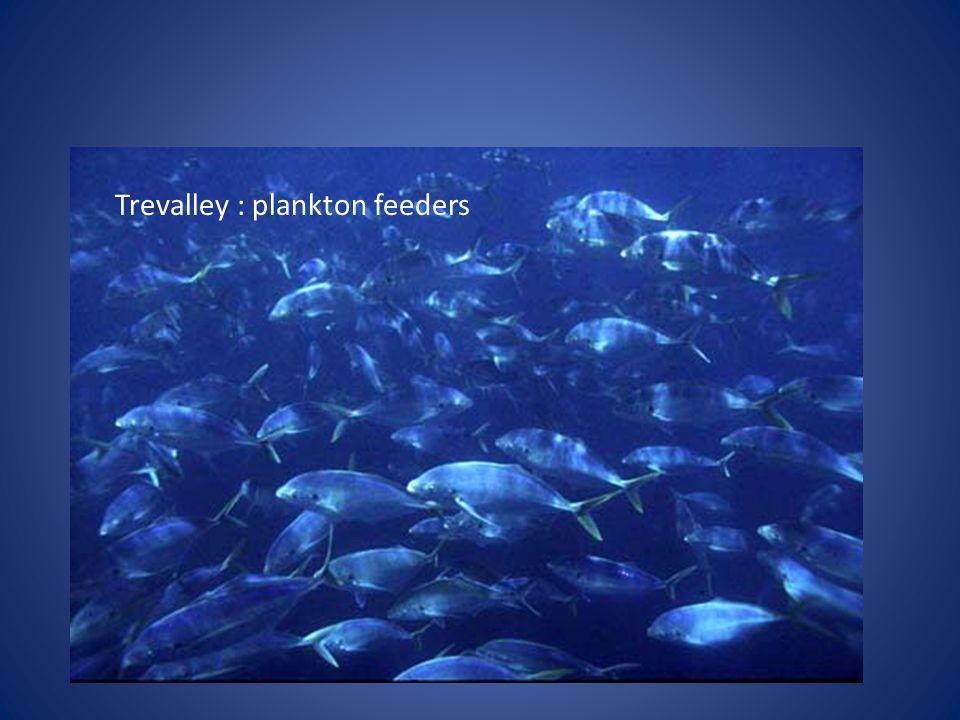 Trevalley : plankton feeders