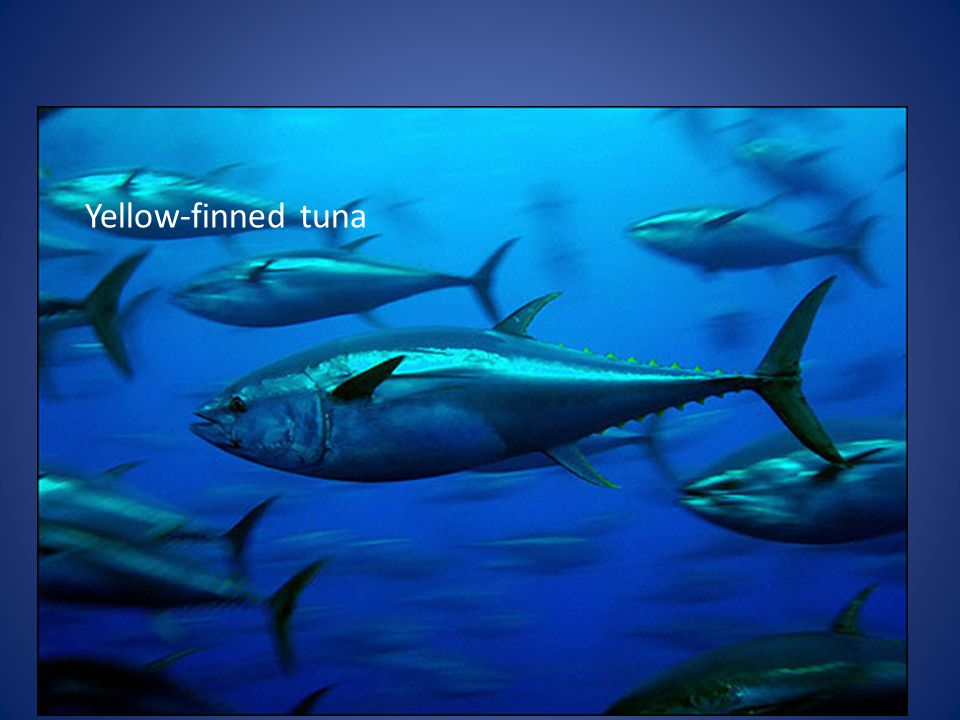 Yellow-finned tuna
