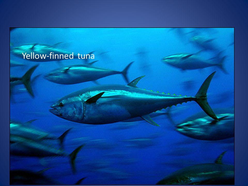 Yellow-finned tuna