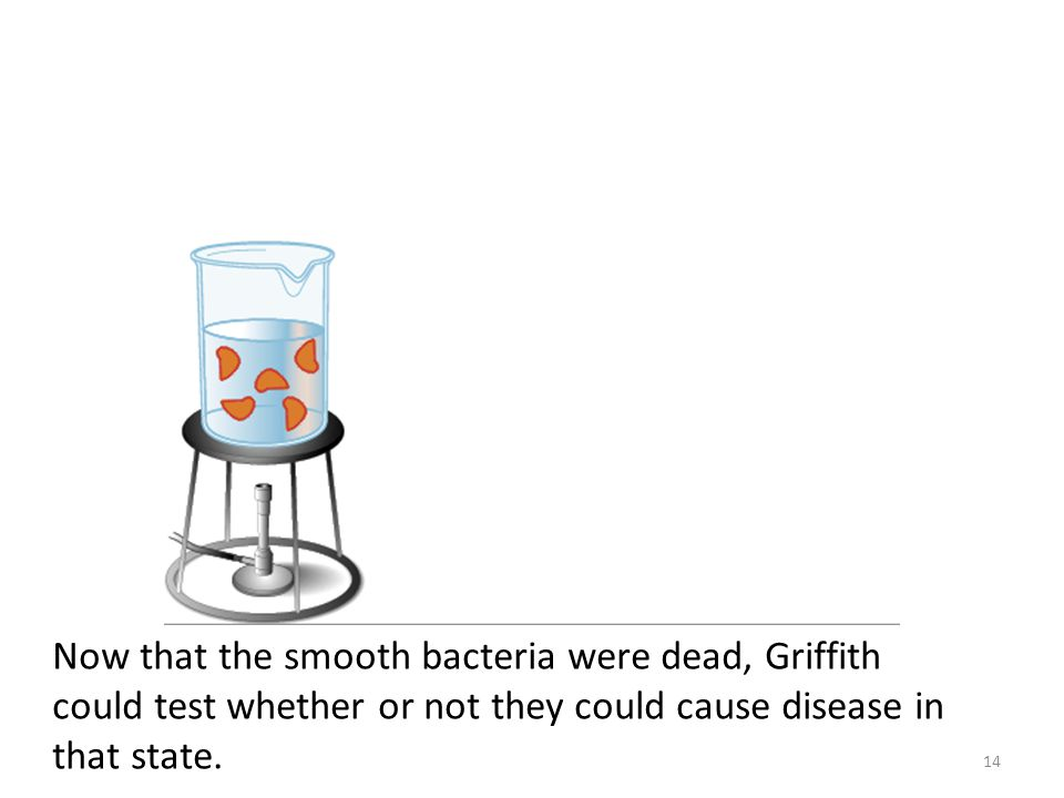 Now that the smooth bacteria were dead, Griffith could test whether or not they could cause disease in that state.