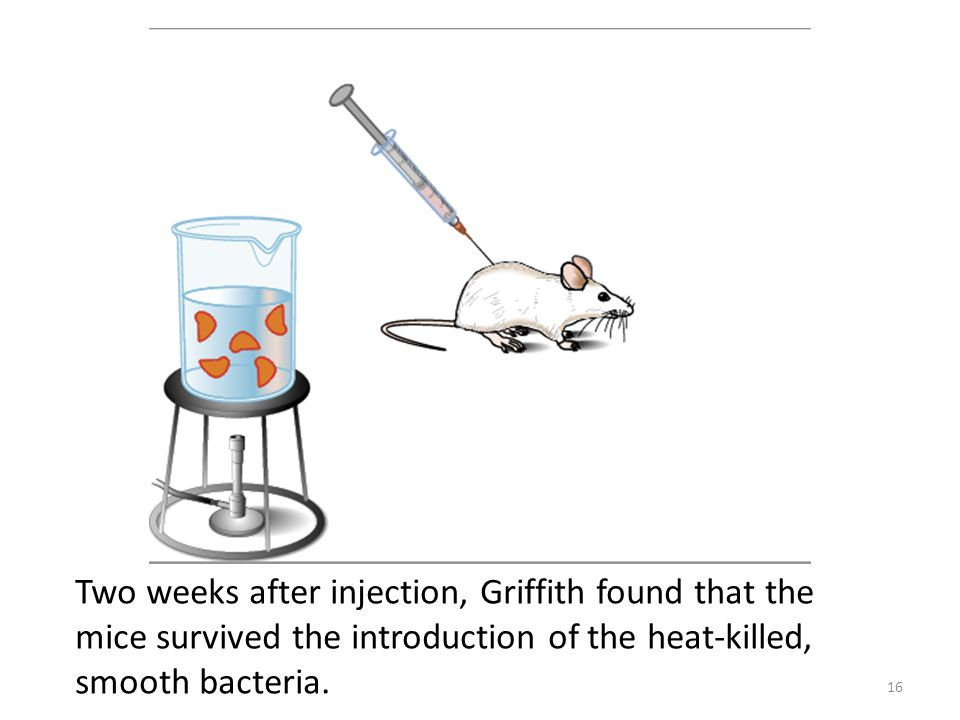 Two weeks after injection, Griffith found that the mice survived the introduction of the heat-killed, smooth bacteria.