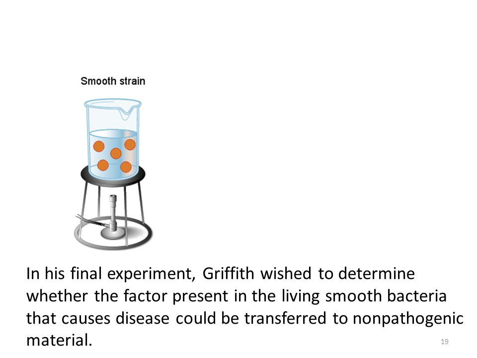 In his final experiment, Griffith wished to determine whether the factor present in the living smooth bacteria that causes disease could be transferred to nonpathogenic material.