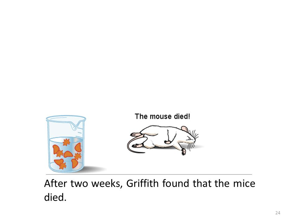 After two weeks, Griffith found that the mice died.