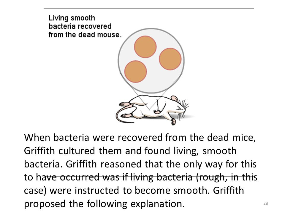When bacteria were recovered from the dead mice, Griffith cultured them and found living, smooth bacteria.