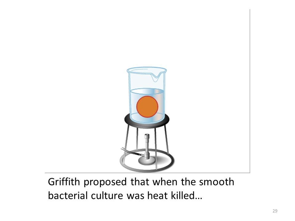 Griffith proposed that when the smooth bacterial culture was heat killed…