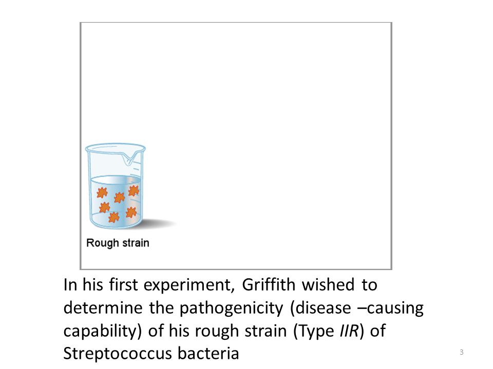 In his first experiment, Griffith wished to determine the pathogenicity (disease –causing capability) of his rough strain (Type IIR) of Streptococcus bacteria