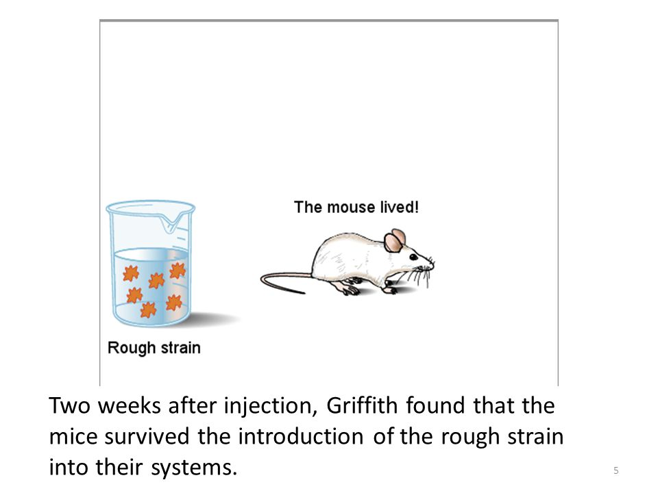 Two weeks after injection, Griffith found that the mice survived the introduction of the rough strain into their systems.
